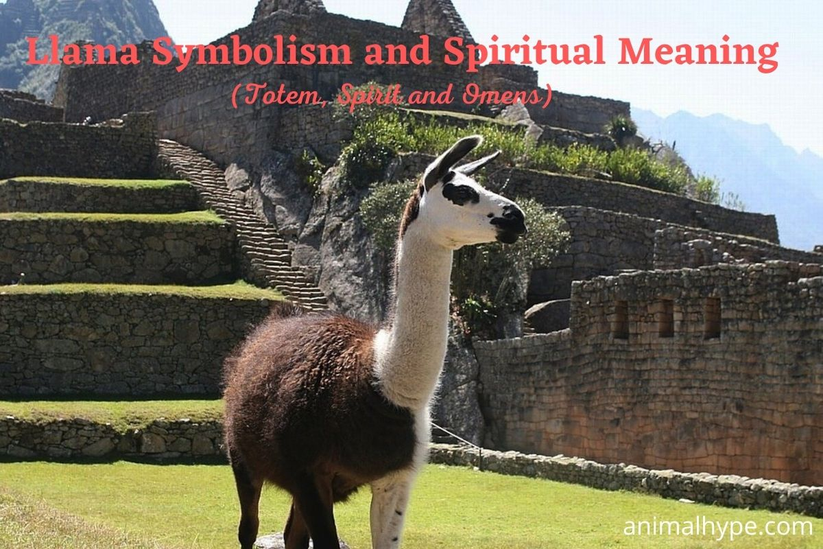 Llama Symbolism and Spiritual Meaning
