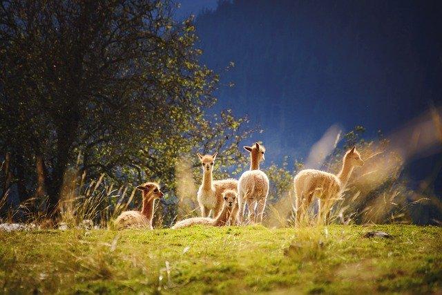 Llama Symbolism