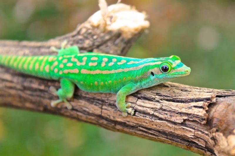 Orange-Spotted Day Gecko (Phelsuma guimbeaui)