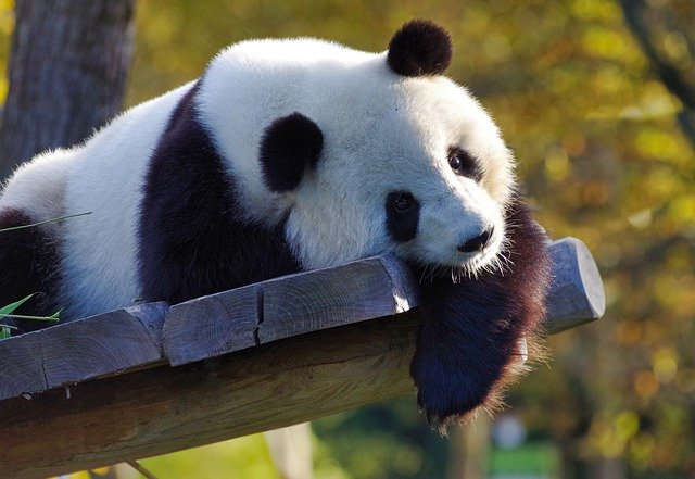 Panda Symbolism