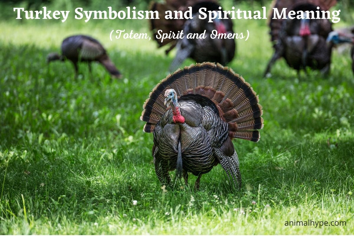 Turkey Symbolism and Meaning