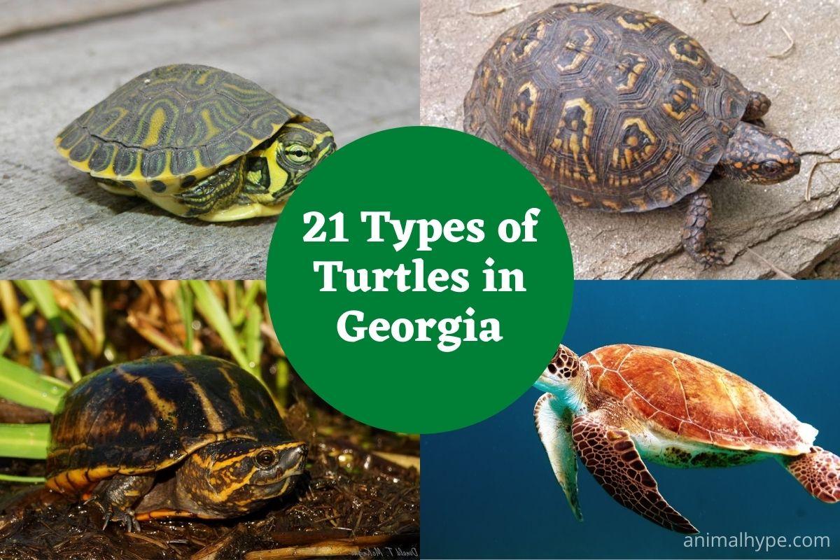 Turtles in Georgia