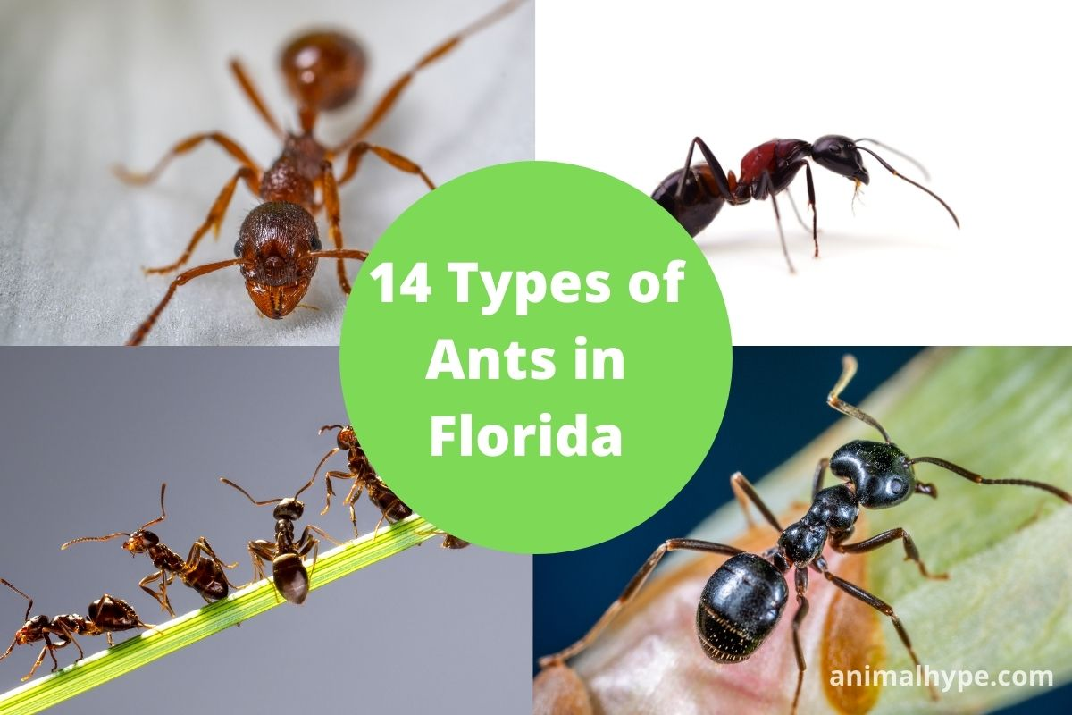 Types of Ants in Florida