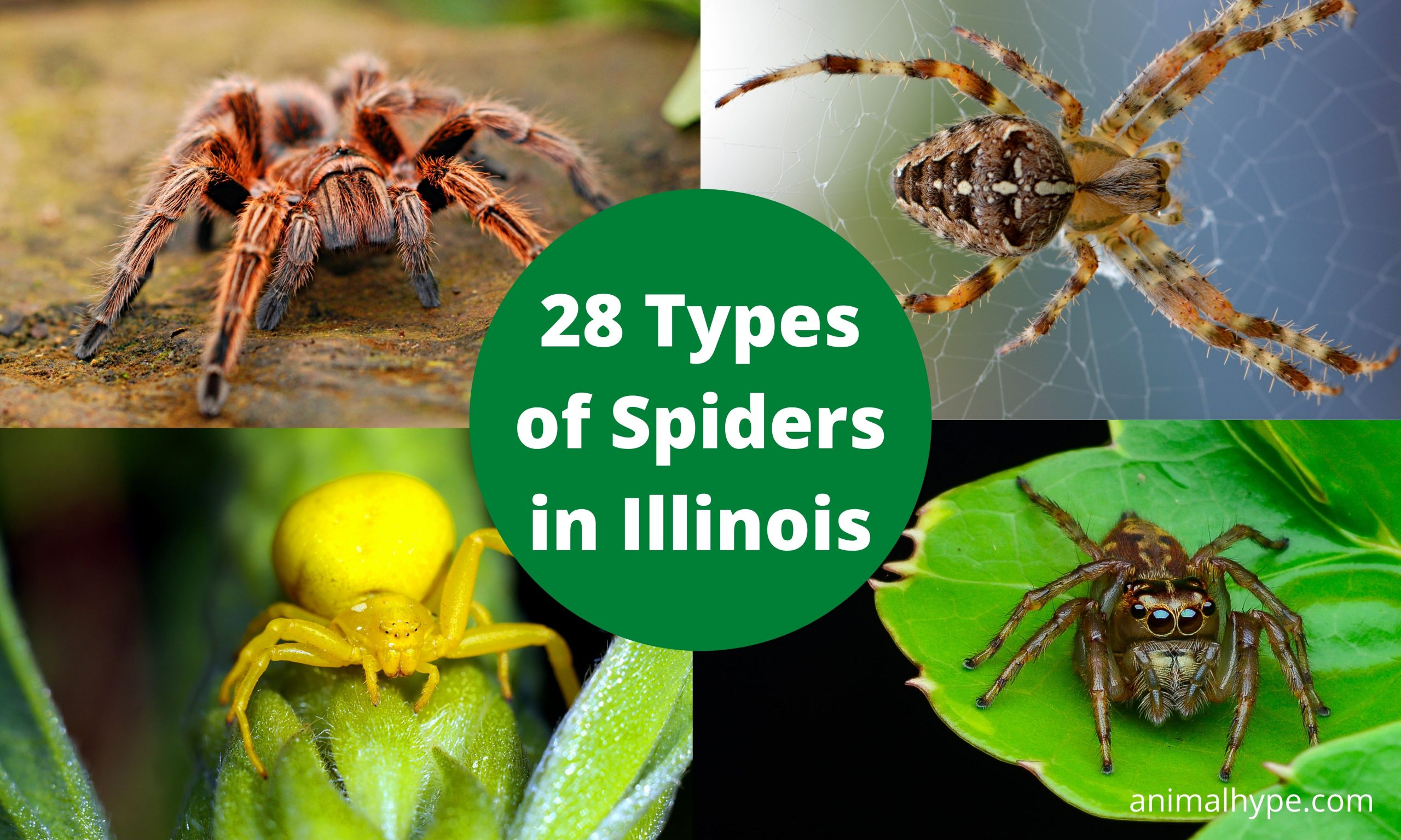 Types of Spiders in Illinois