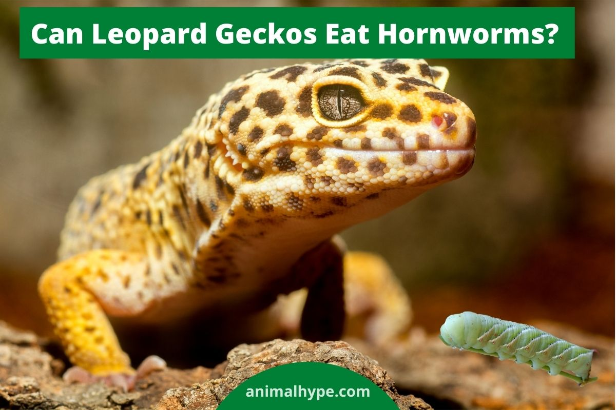 Can Leopard Geckos Eat Hornworms