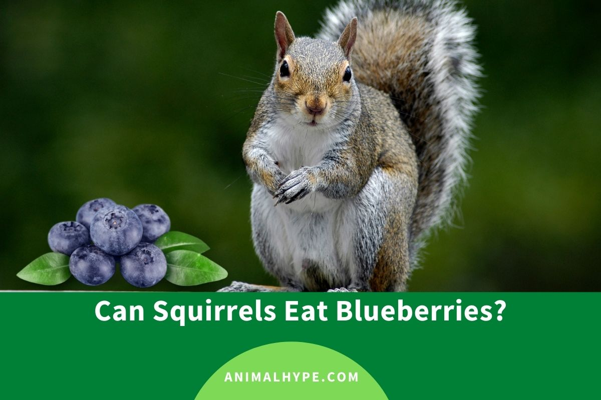 Can Squirrels Eat Blueberries