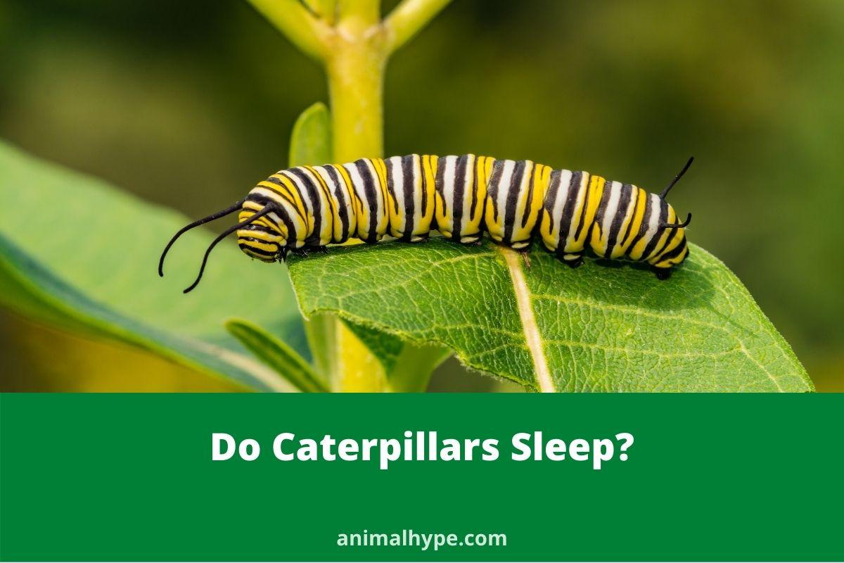 Do Caterpillars Sleep