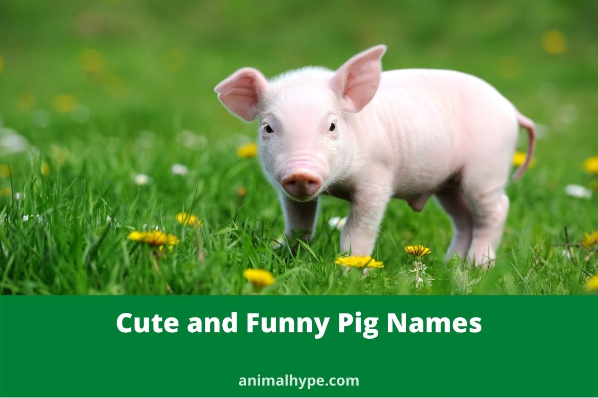 Cute and funny Pig Names