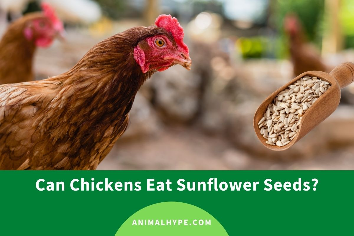 Can Chickens Eat Sunflower Seeds