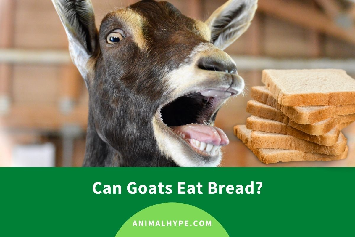 Can Goats Eat Bread