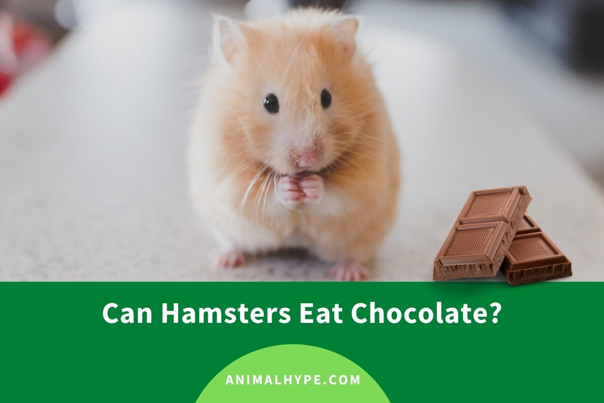Can Hamsters Eat Chocolate