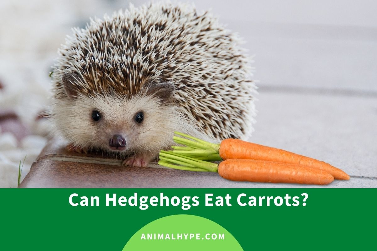 Can Hedgehogs Eat Carrots