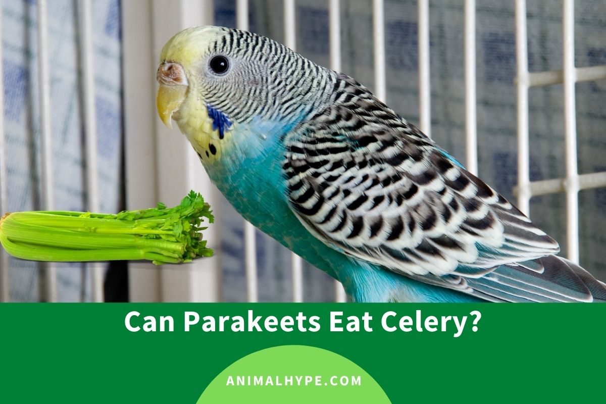 Can Parakeets Eat Celery