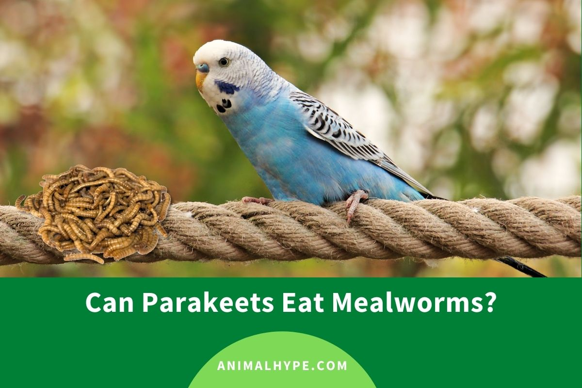 Can Parakeets Eat Mealworms