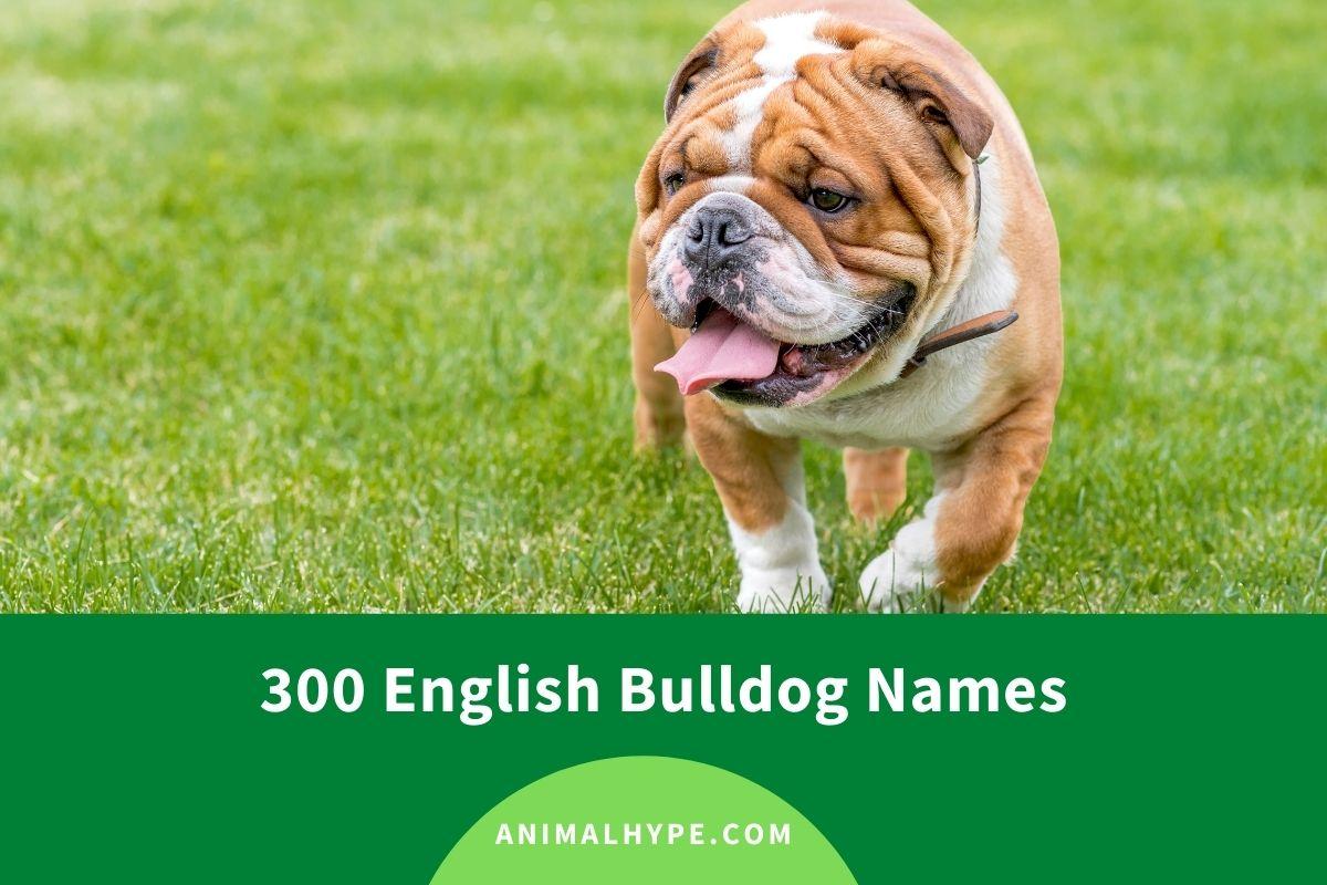English Bulldog Names