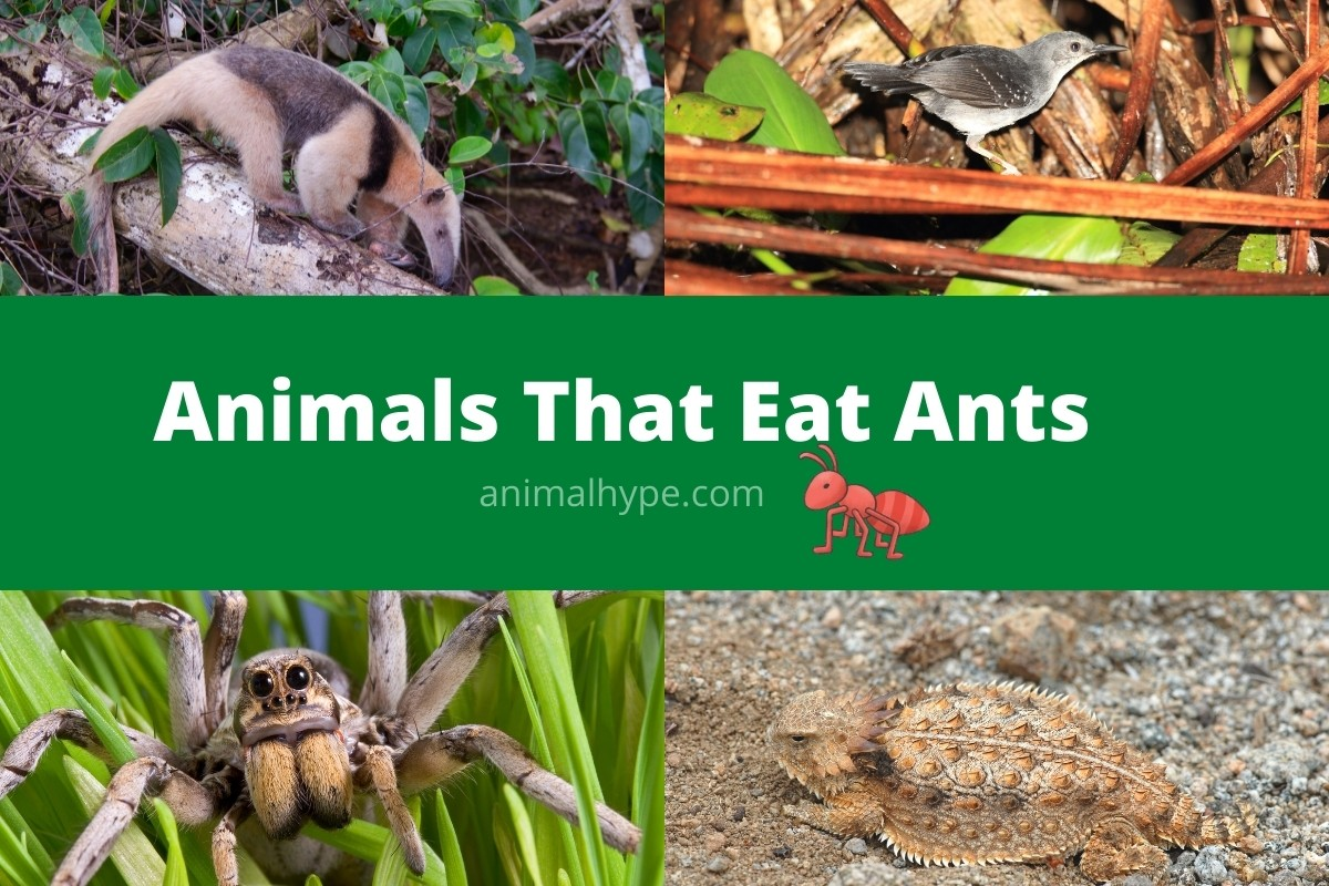 Animals That Eat Ants