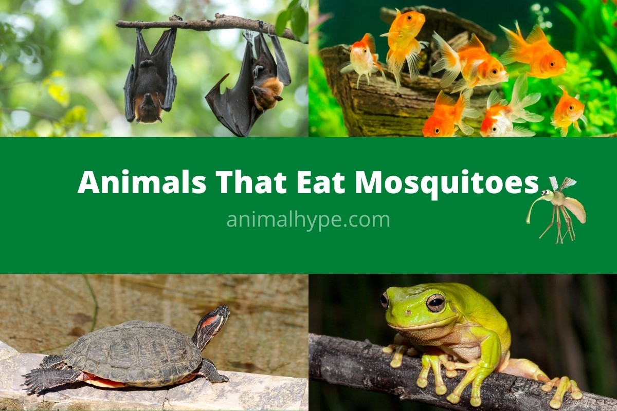 Animals That Eat Mosquitoes