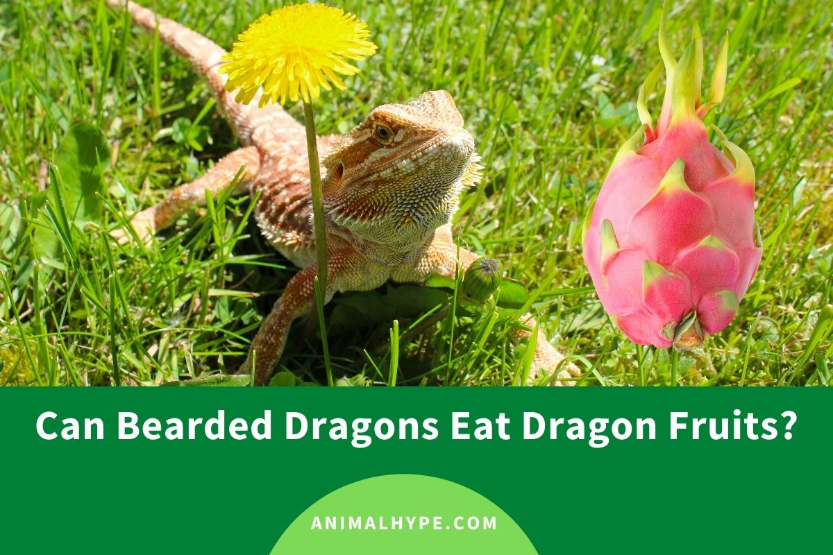 Can Bearded Dragons Eat Dragon Fruits