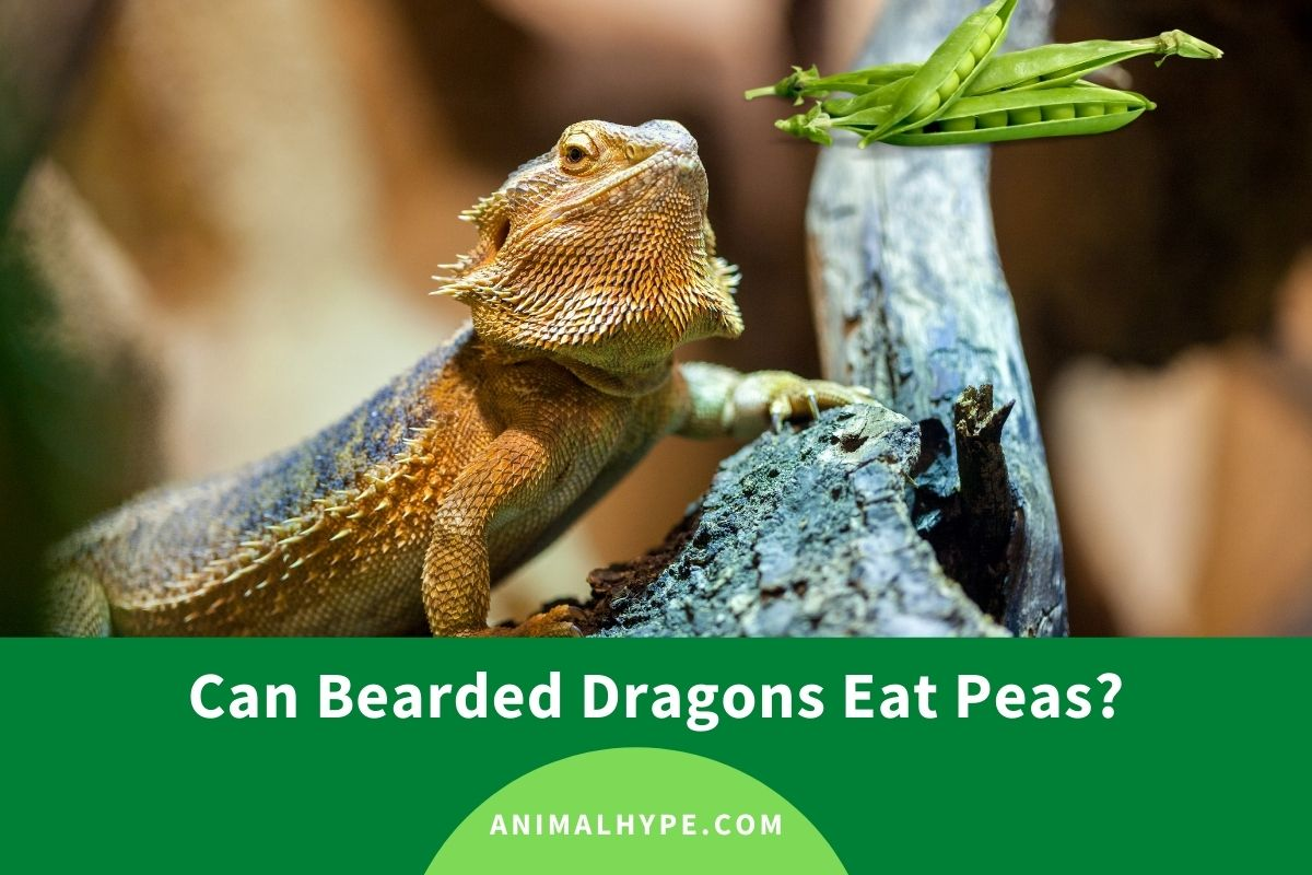 Can Bearded Dragons Eat Peas