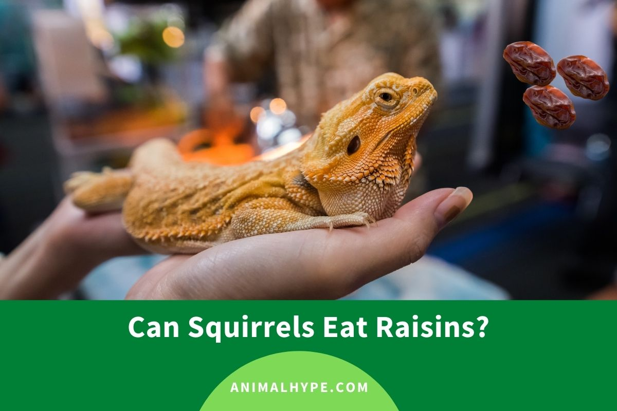 Can Bearded Dragons Eat Raisins