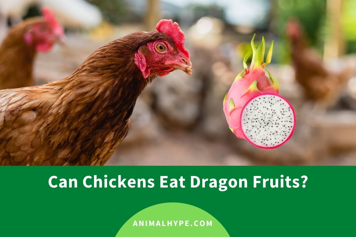 Can Chickens Eat Dragon Fruits