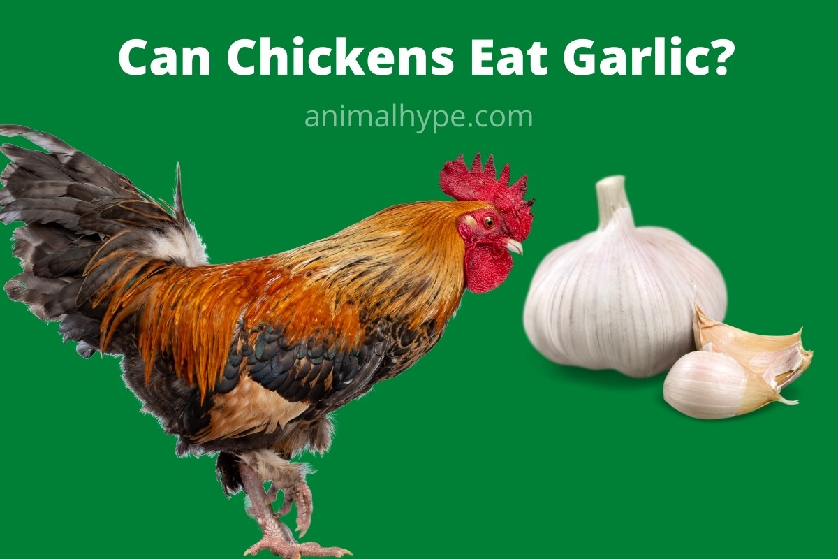 Can Chickens Eat Garlic