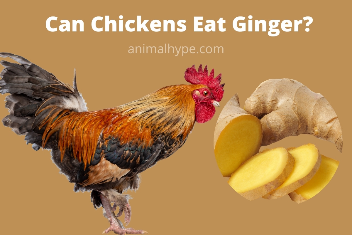 Can Chickens Eat Ginger