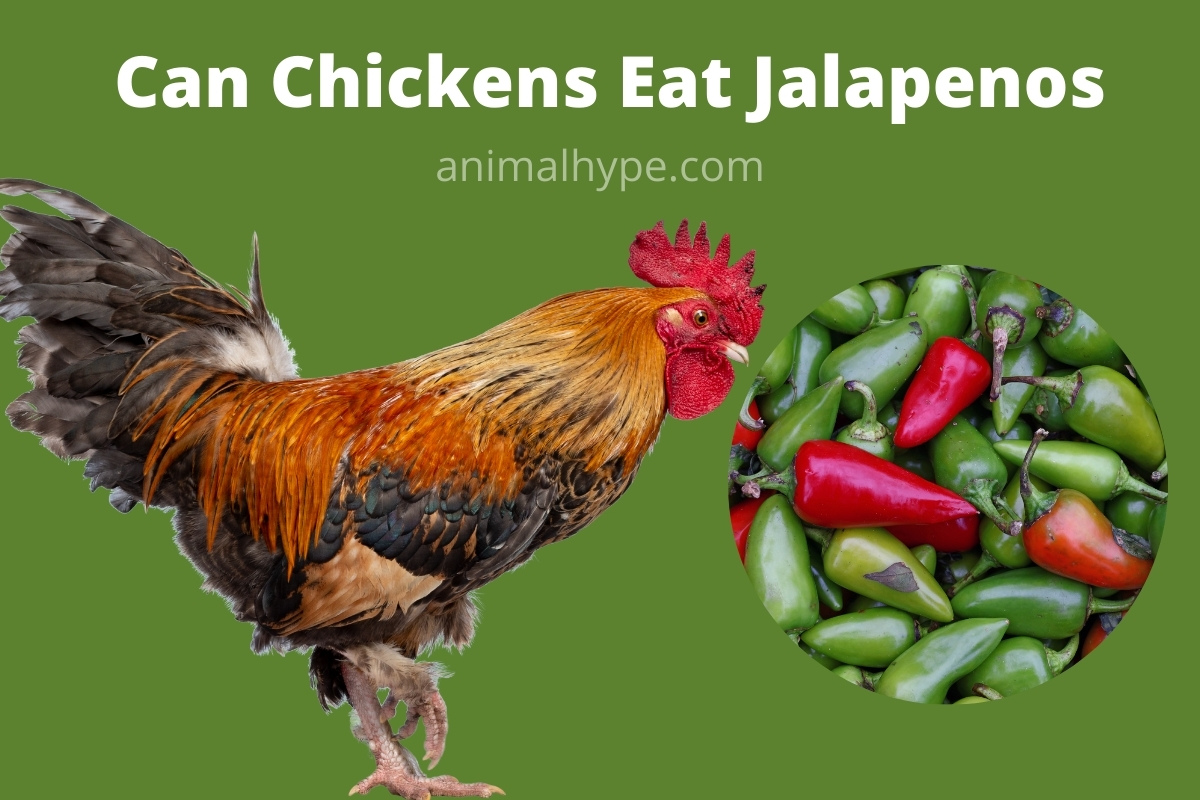 Can Chickens Eat Jalapenos