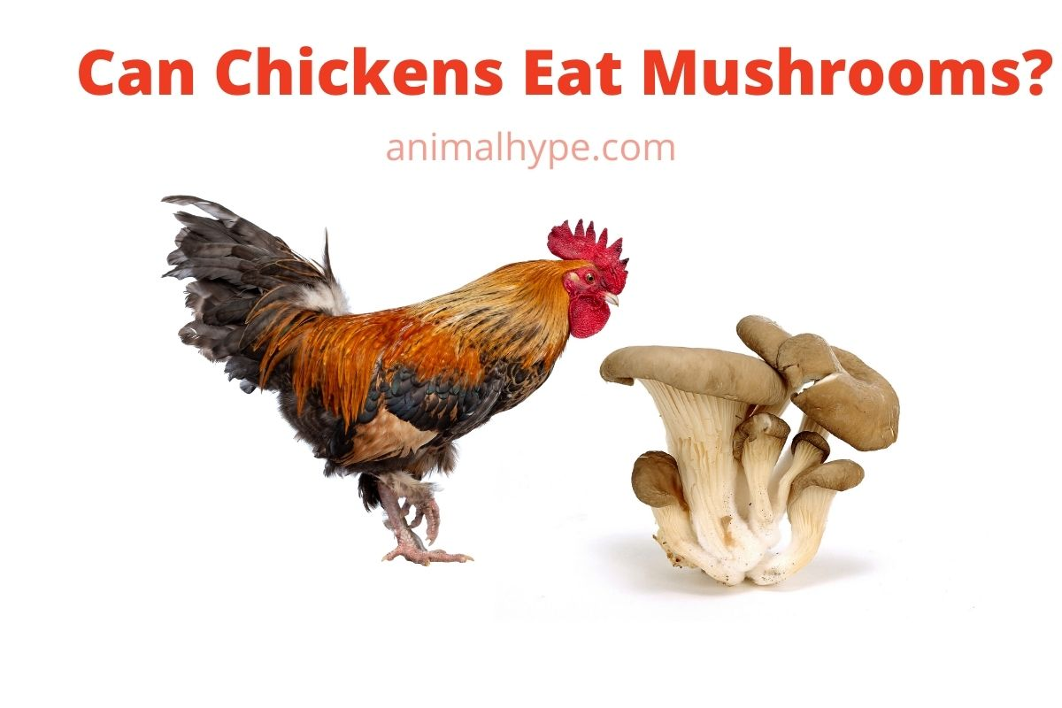 Can Chickens Eat Mushrooms