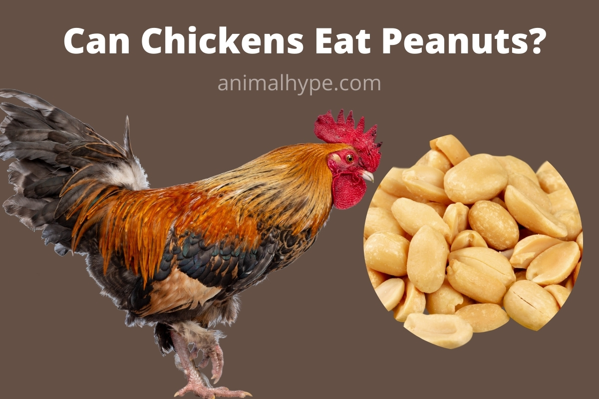 Can Chickens Eat Peanuts