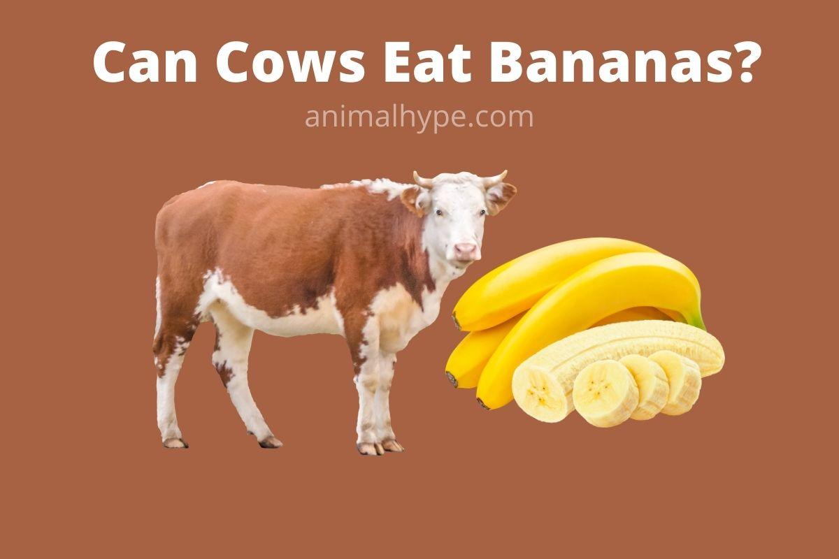 Can Cows Eat Bananas