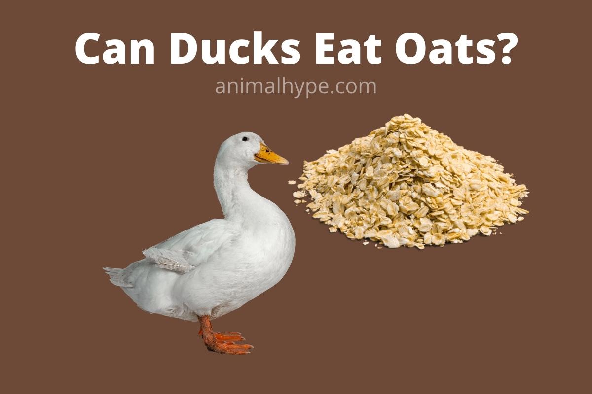 Can Ducks Eat Oats