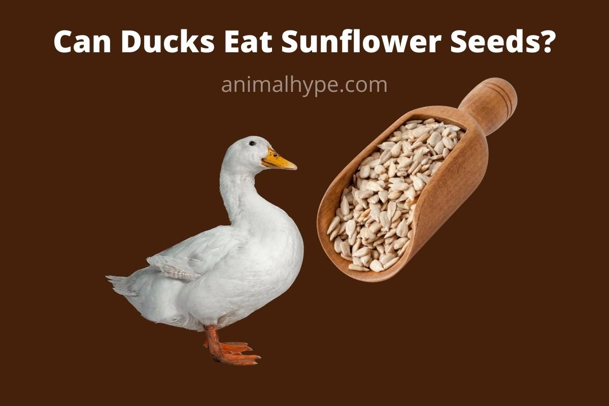 Can Ducks Eat Sunflower Seeds