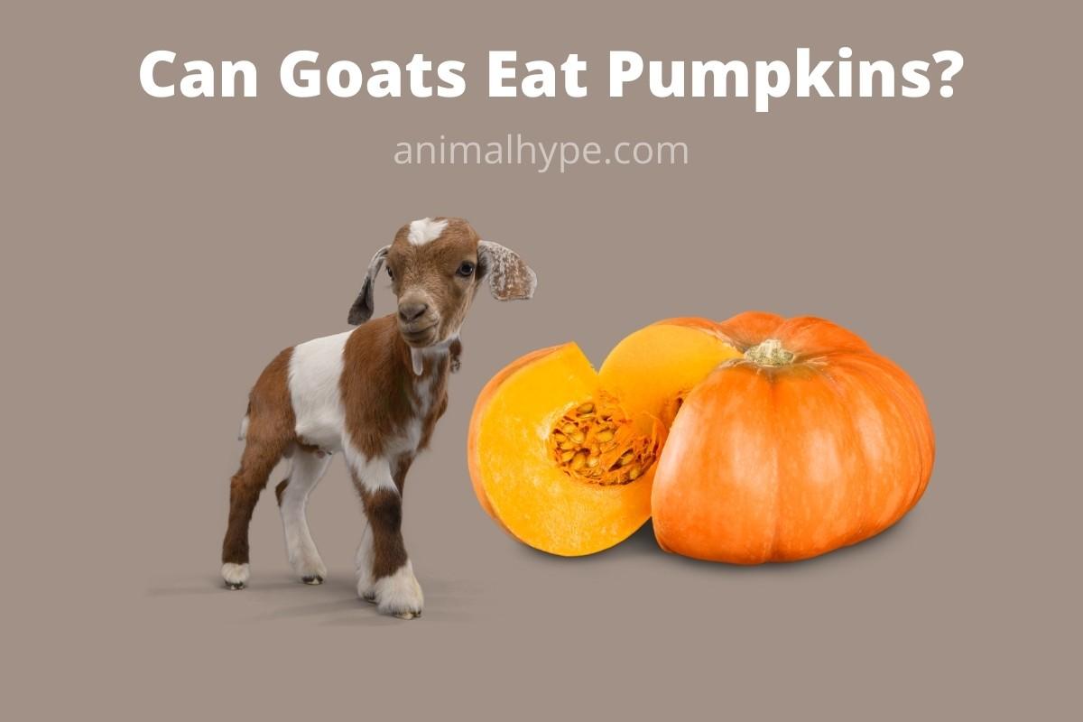 Can Goats Eat Pumpkins