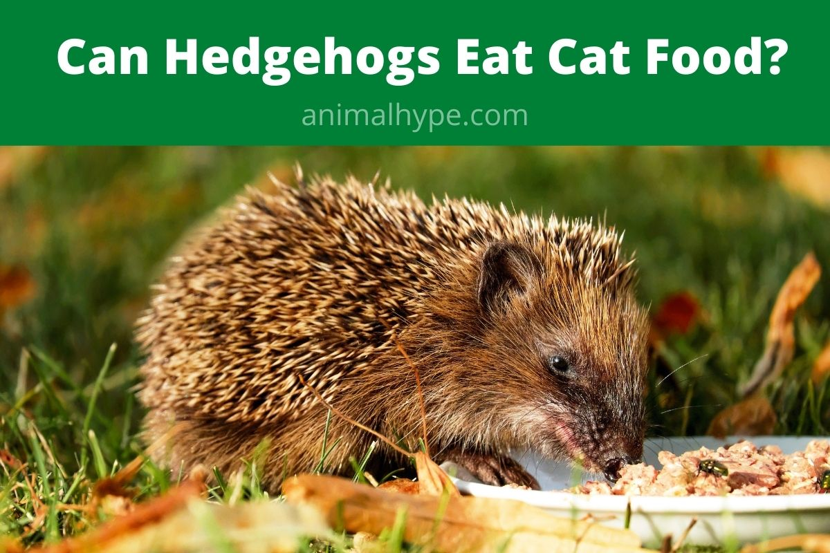 Can Hedgehogs Eat Cat Food
