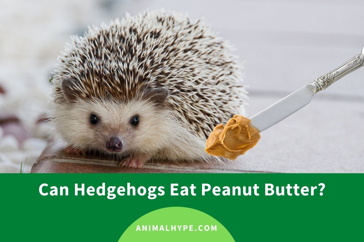 Can Hedgehogs Eat Peanut Butter