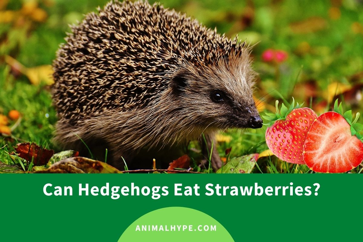 Can Hedgehogs Eat Strawberries