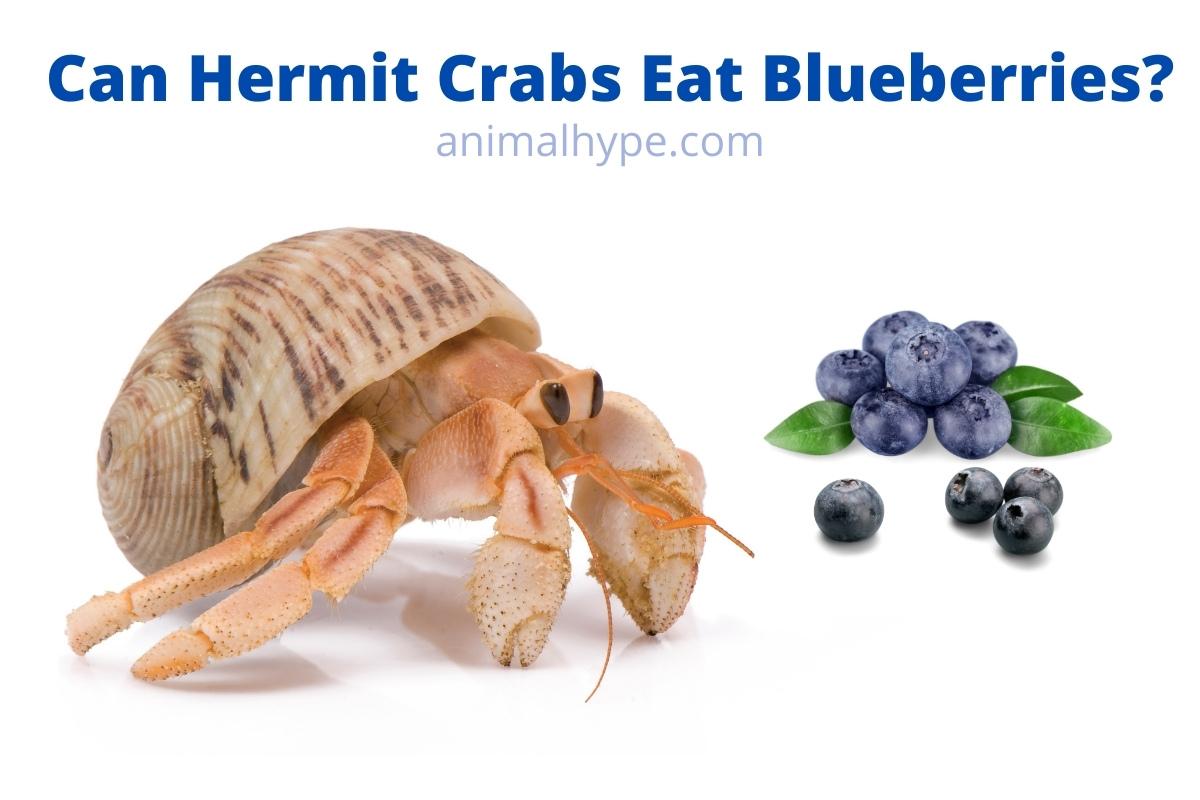 Can Hermit Crabs Eat Blueberries