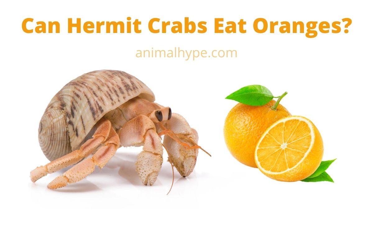 Can Hermit Crabs Eat Oranges