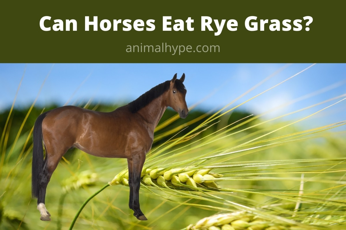 Can Horses Eat Rye Grass