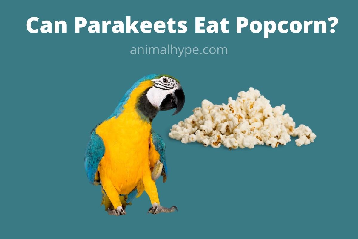 Can Parakeets Eat Popcorn