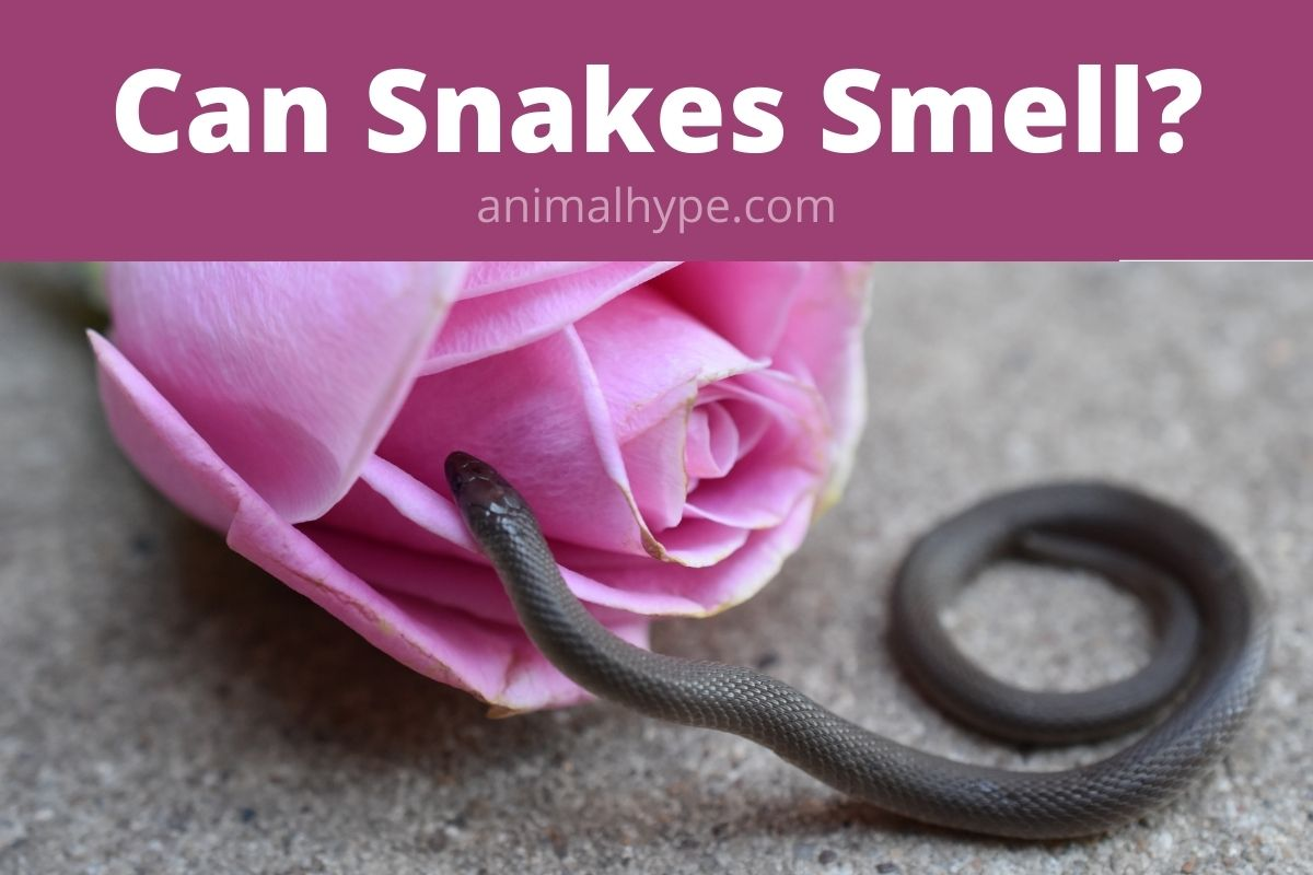Can Snakes Smell