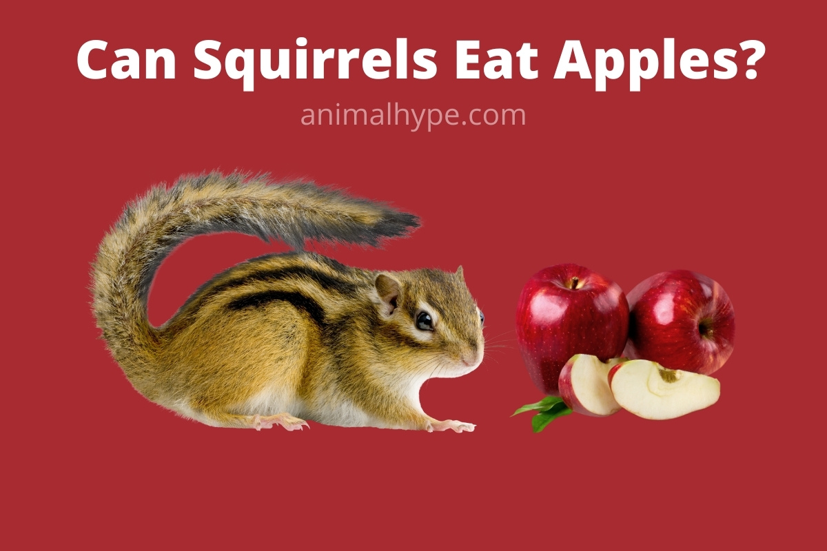 Can Squirrels Eat Apples