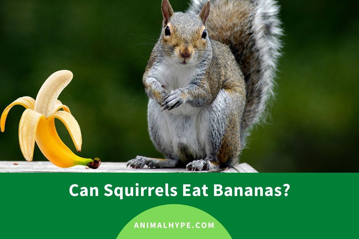 Can Squirrels Eat Bananas