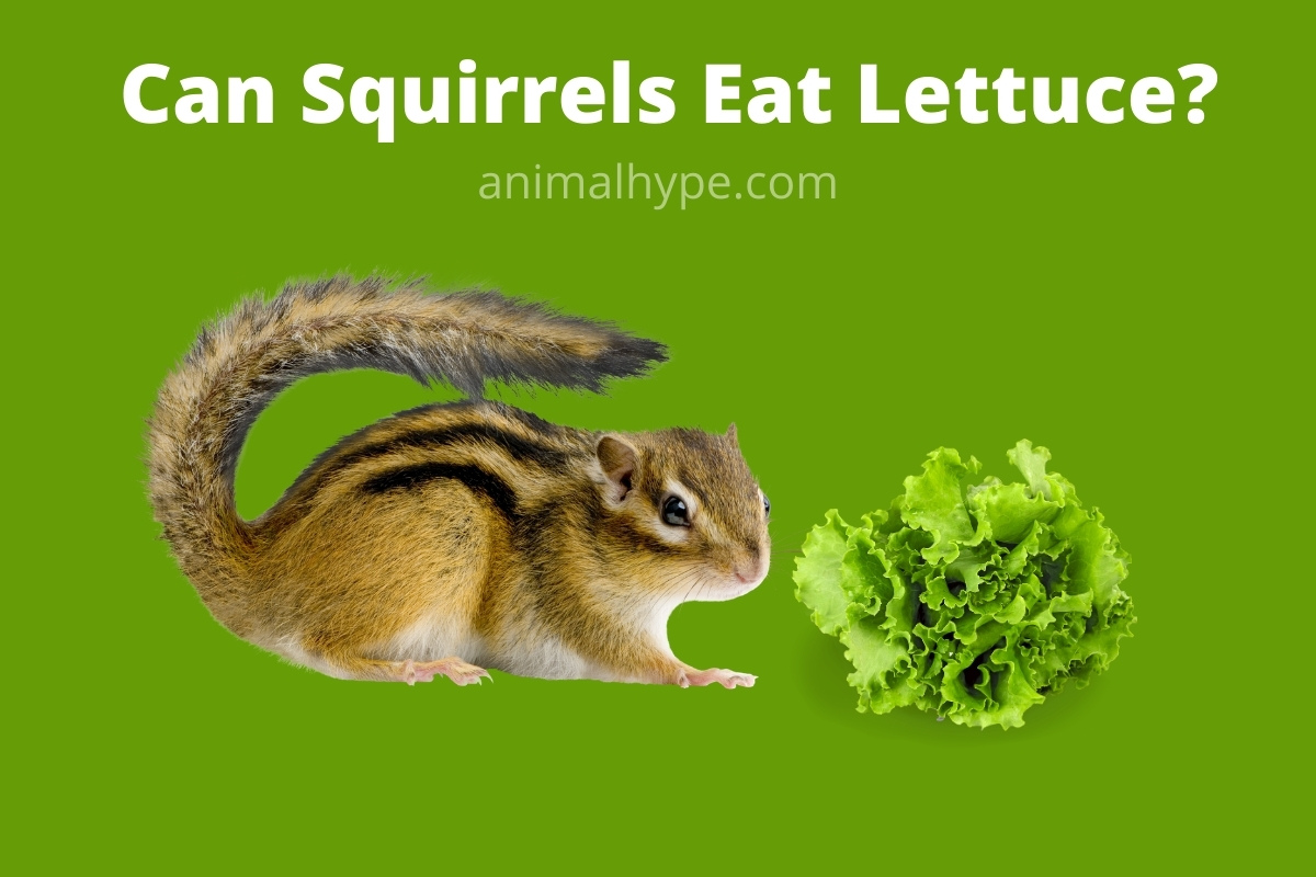 Can Squirrels Eat Lettuce