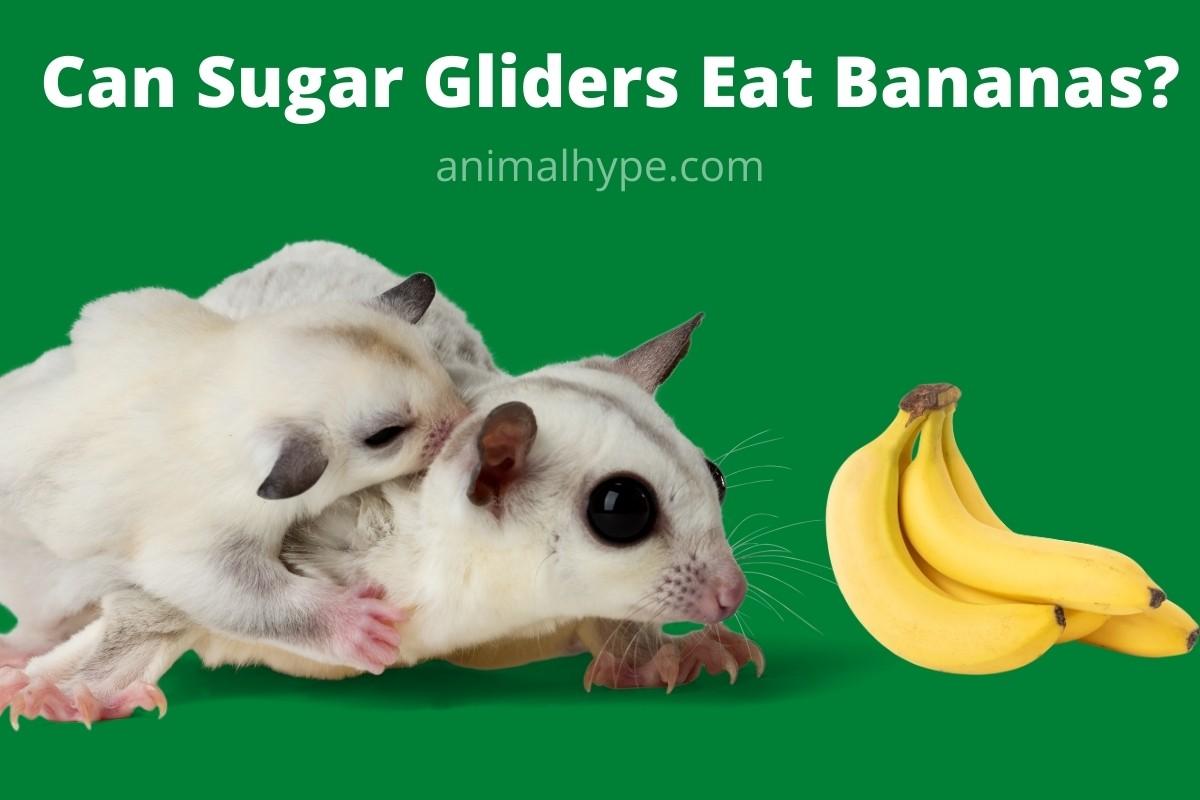 Can Sugar Gliders Eat Bananas