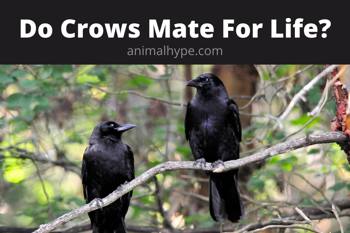 Do Crows Mate For Life