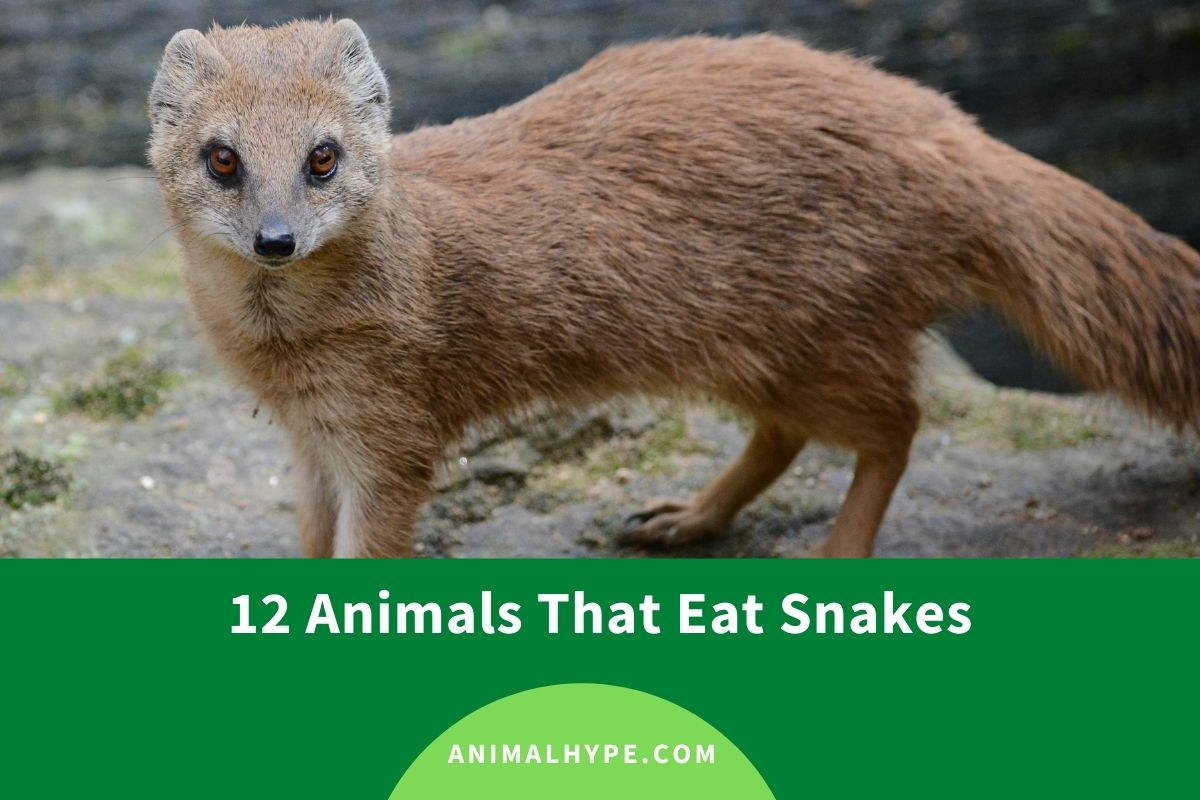 What Animals Eat Snakes