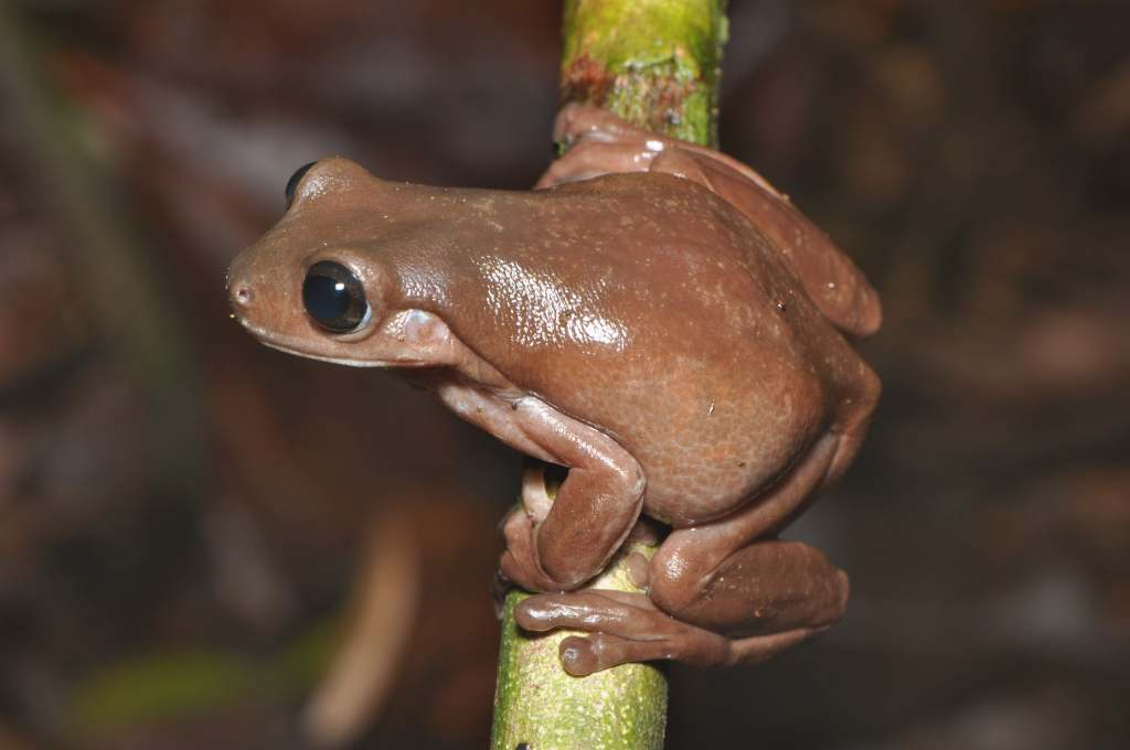 Chocky Frog