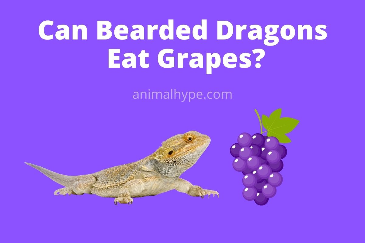 Can Bearded Dragons Eat Grapes